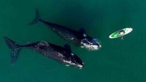 Chubut: Recomiendan no acercarse a las ballenas